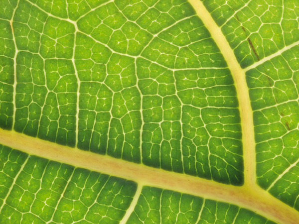 Macro image: fine details on a leaf. At 1:1 reproduction, the details of everyday objects take on new significance