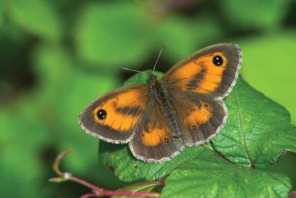 Gatekeeper butterfly macro image