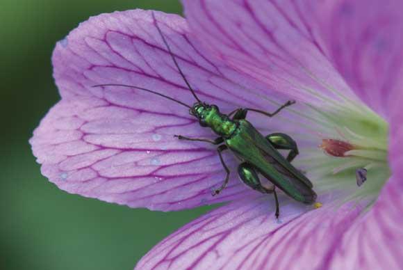 Oedemera Nobilis Macro image