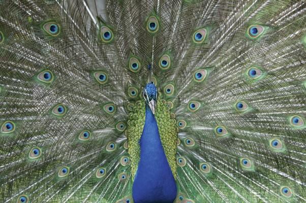 Peacock Richard Sibley