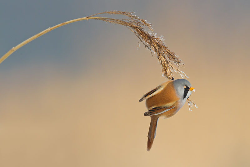 Photo Insight With Jeroen Stel Bearded Reedling Bird