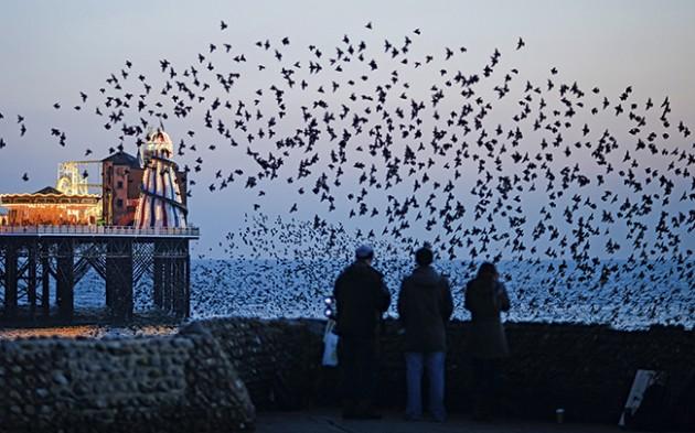Roosting starlings: by David Tipling