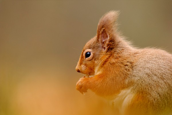 Andrew-Mason,-red-squirrel-feeding-(t)