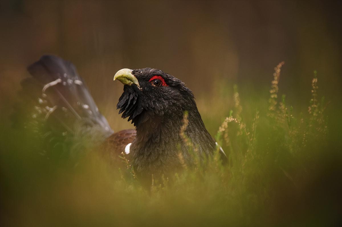 Wildlife Watch Western Capercaillie Amateur Photographer