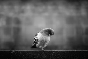 Russ-Barnes-grubby-pigeon
