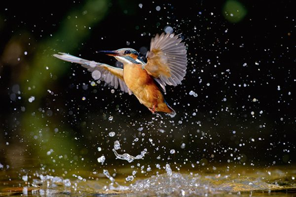 Andrew Mason kingfisher in motion