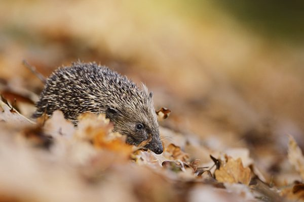 Hedgehog-in-autumn Paul-Hobson