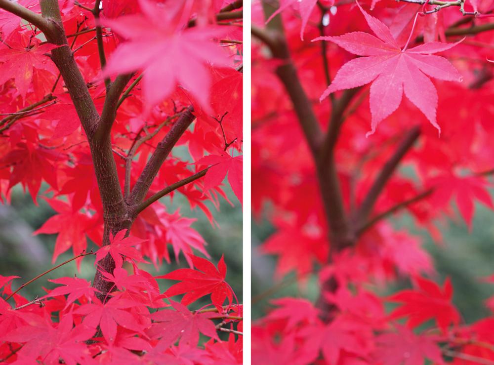 autumn macro Tracy Calder maple leaves