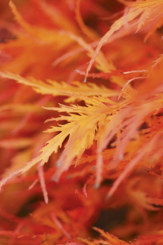 autumn macro tracy calder japanese maple