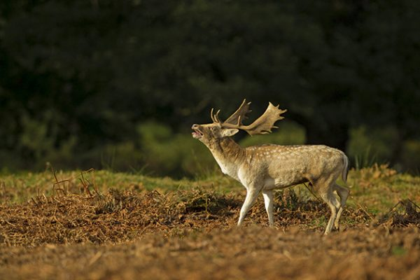 Paul Hobson fallow deer bellowing