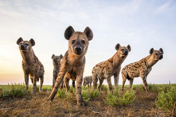 Will Burrard-lucas spotted hyenas