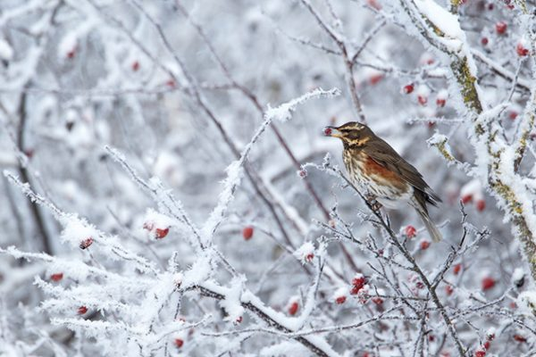 Mark Sisson redwing in frosty hedgerow