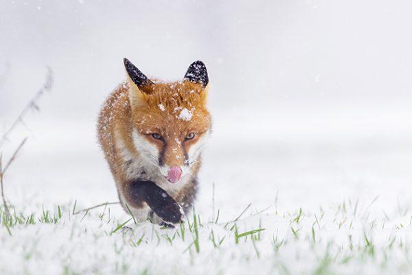 Oscar Dewhurst Foxes