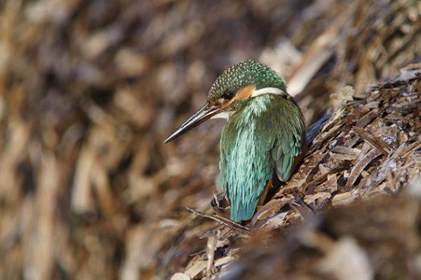 Paul Hackett Kingfisher