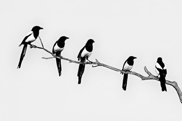 David Tipling Monochrome birds