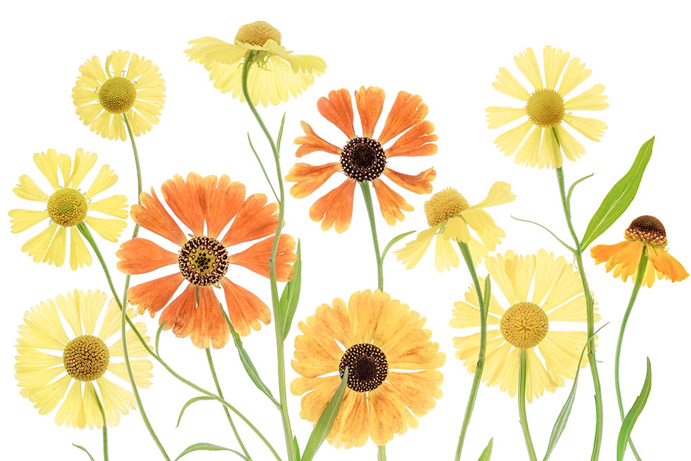 Mandy Disher Florals Heleniums