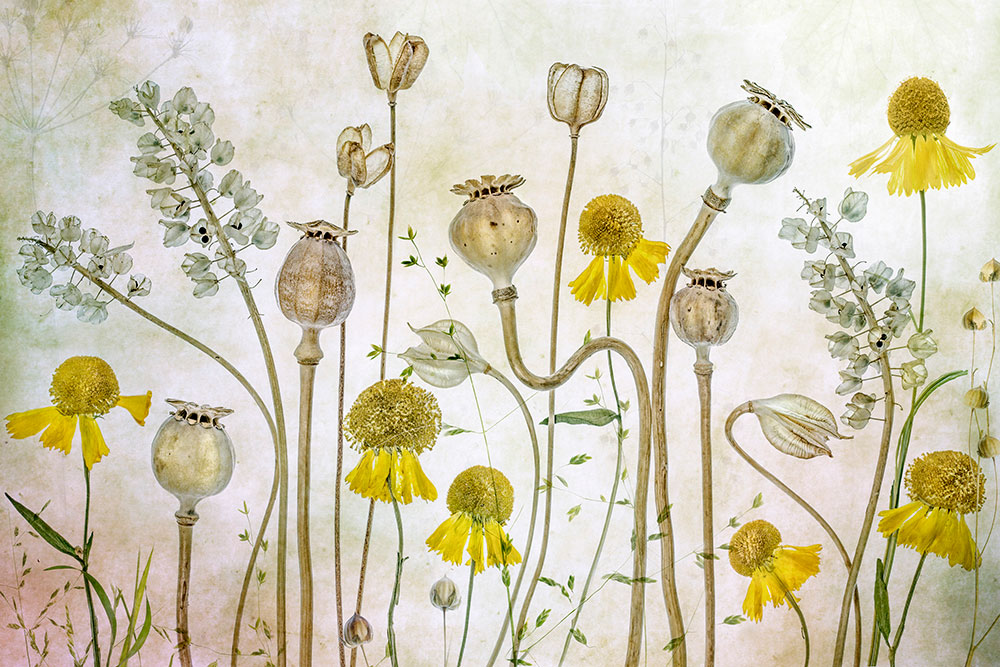 Mandy Disher Florals Poppies and Heleniums