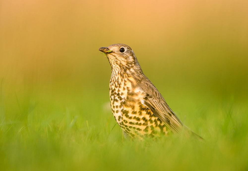 bird photography song thrush