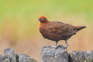 Red grouse ww