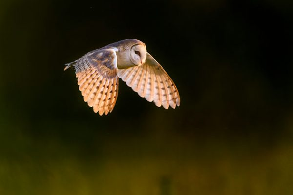 Owl Be Back Get Great Shots Of Barn Owls Amateur Photographer