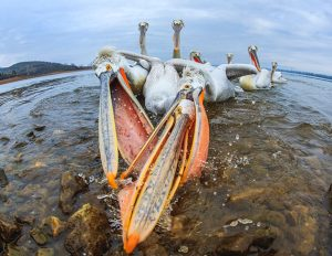 Photo disasters Caron Steele pelicans