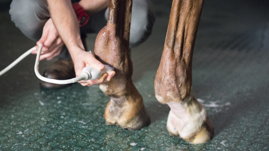 Tendon injuries in horses are scanned with ultrasound to confirm the level of damage.