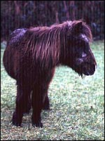 A pony with equine cushing's disease