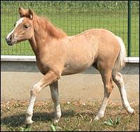 cloning horses