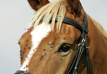 Horses need protection from flies