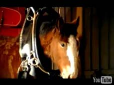 Clydesdale-foal-video.jpg