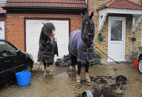 Horses found tied to cars outside an urban home