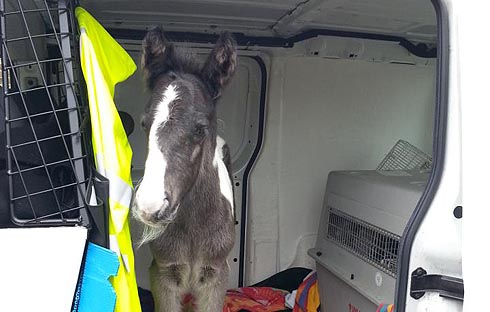 The rescued foal arriving at the vets in an RSPCA van