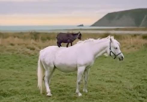 Goat rides horse