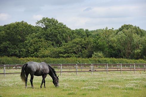 A horse grazing in a field