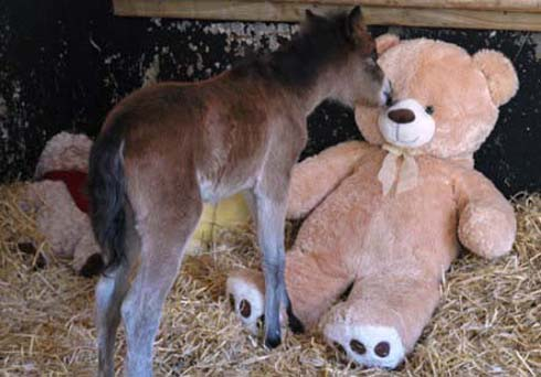 The abandoned foal loves his giant teddy