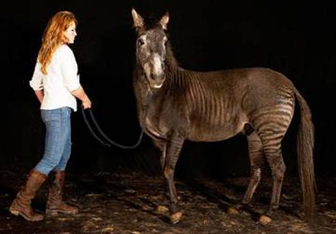 Zorse For Sale >> Is It A Horse Or A Zebra Meet Zulu The Zorse Horse Hound