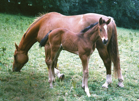 Irish sport horse mare and foal