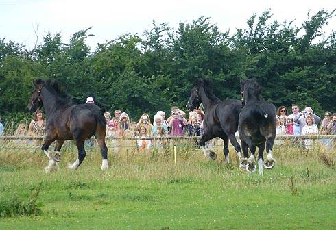 Wadworth shire horses enjoying their summer holiday