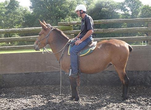 Luna the mule being ridden