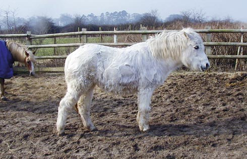 A pony with Cushing's disease