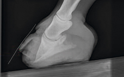A case of laminitis in horses showing the rotated pedal bone