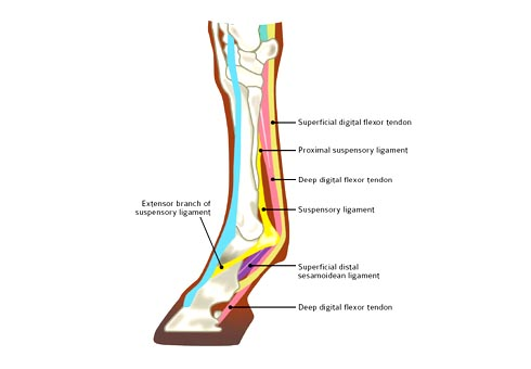 Suspensory Ligament Injuries All You Need To Know Horse Hound