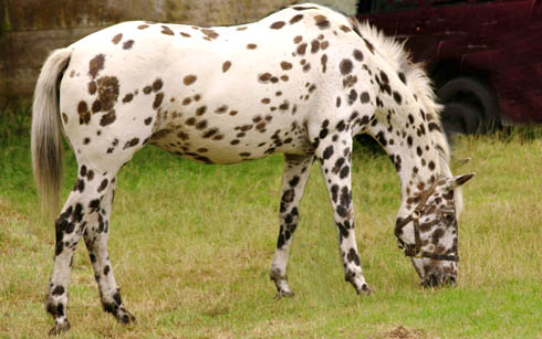 Horse breeds fact file: Appaloosas - Horse & Hound