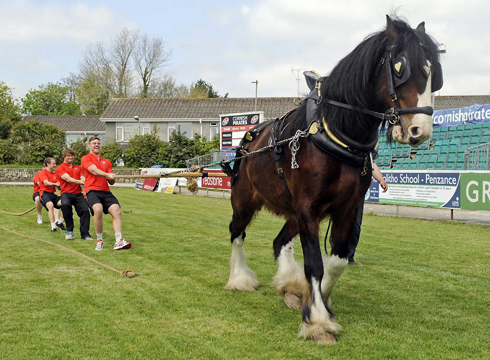 Shire horse takes part in tug of war