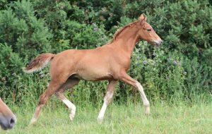 A British-bred sport horse foal