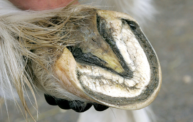 Thrush in the horse's hoof