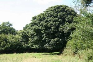 Atypical myopathy in horses is caused by toxins found in the sycamore tree