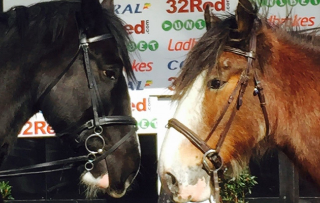 shires and clydesdales race