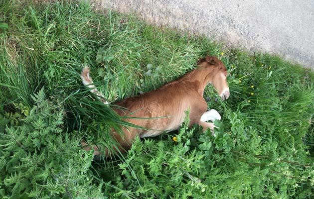 dumped dead foal