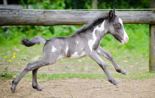 Is this the smallest foal you've ever seen? Meet Microdave ...